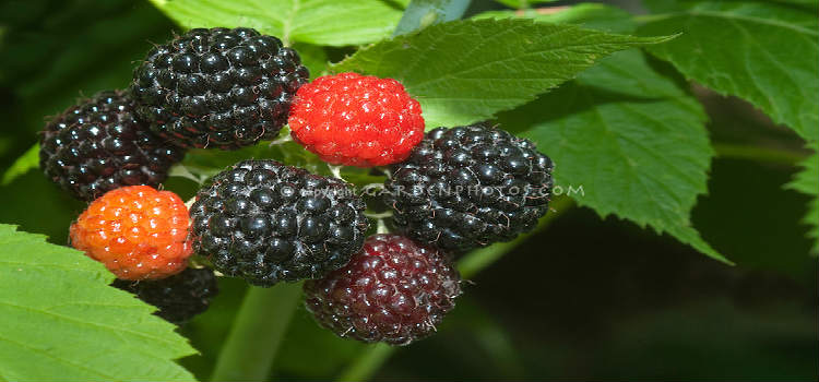 Get Rid of Cardiovascular Disease By Eating Black Raspberries